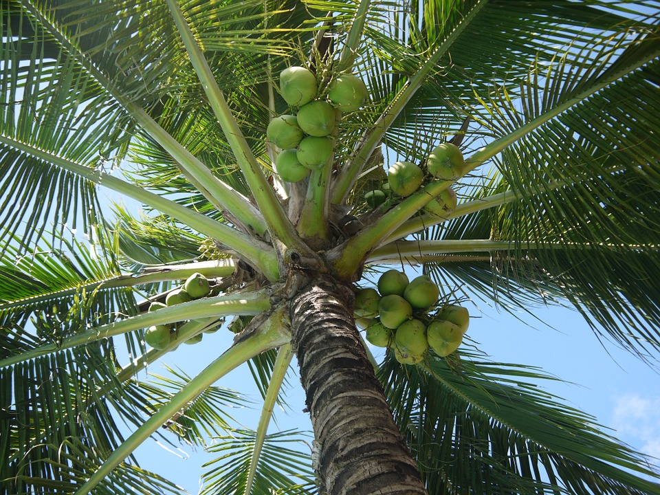 39. Lubi-Lubi (Coconut) Festival