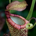 "The Carnivorous Plant ""Nepenthes attenboroughii""  of Palawan"